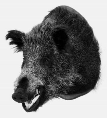 A Continental wild boar's head