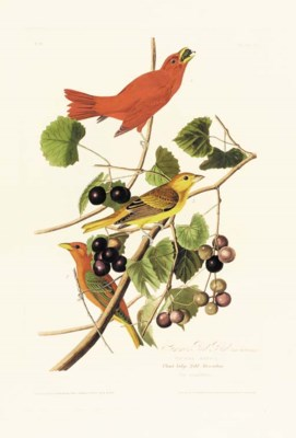 SUMMER RED BIRD (PLATE 44)