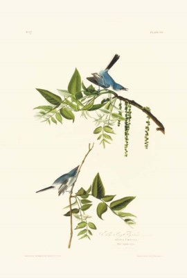 BLUE GREY FLYCATCHER (PLATE 84