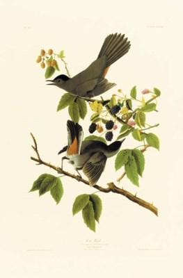 CAT BIRD (PLATE CXXVIII)