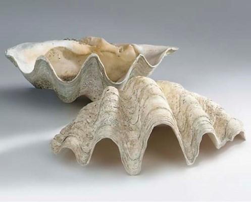 Three giant clam shells