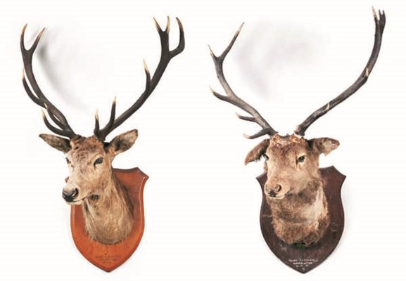 TWO MOUNTED STAG'S HEAD GAME T