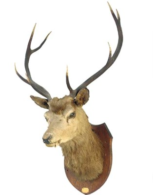 Two stag head trophies