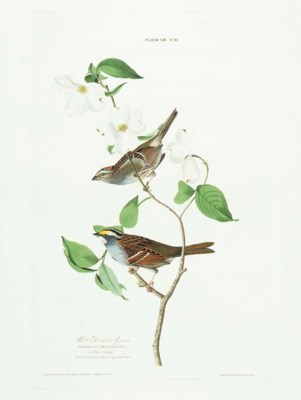 White Throated Sparrow (Plate