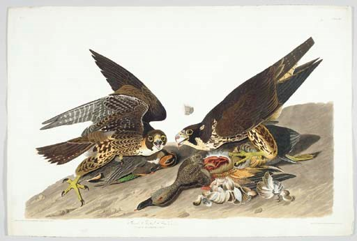 Great Footed Hawk (Plate 16) P