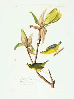 Kentucky Warbler (Plate 38) Op