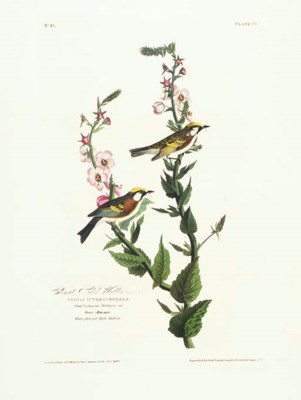 Chesnut Sided Warbler (Plate 5