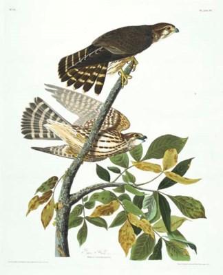 Pigeon Hawk (Plate 92) Merlin,