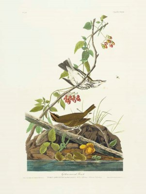 Golden-crowned Thrush (Plate C