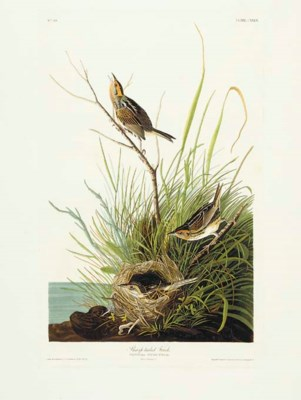 Sharp-tailed Finch (Plate CXLI