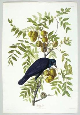 American Crow (Plate CLVI) Cor