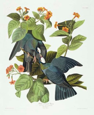 White-crowned Pigeon (Plate CL