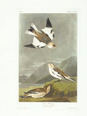 Snow Bunting (Plate CLXXXIX) P