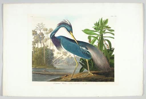 Louisiana Heron (Plate CCXVII)