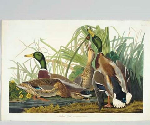Mallard Duck (Plate CCXXI) Mal