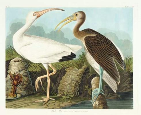 White Ibis (Plate CCXXII) Eudo