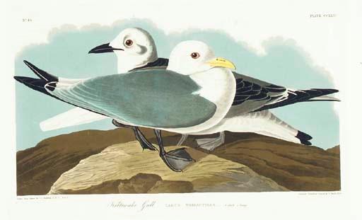 Kittiwake Gull (Plate CCXXIV)