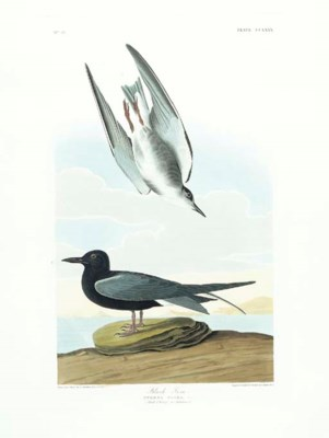 Black Tern (Plate CCLXXX) Chli