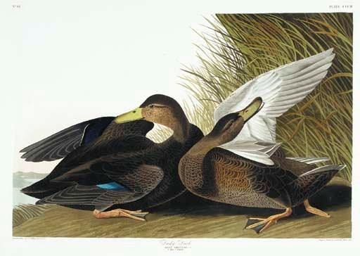 Dusky Duck (Plate CCCII) Ameri