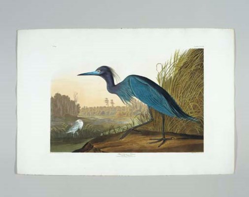 Blue Crane, or Heron... View n