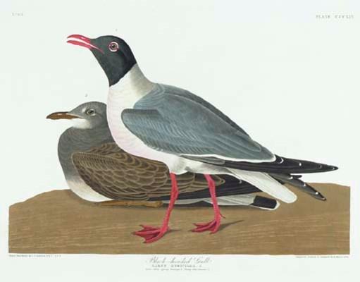 Black-headed Gull (Plate CCCXI
