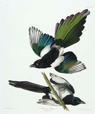 American Magpie (Plate CCCLVII