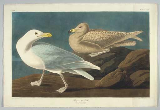 Burgomaster Gull (Plate CCCXCV