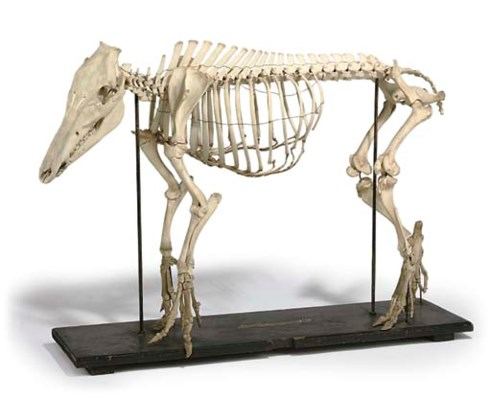An early 20th-Century Sus scrofa (wild boar) skeleton ...