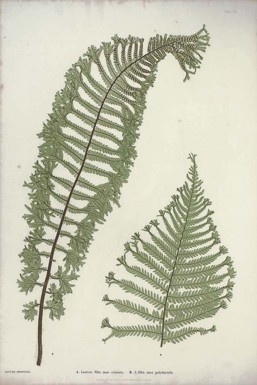 MOORE, Thomas (1821-1887) and Henry BRADBURY (1831-1860, illustrator). The Ferns of Great Britain and Ireland ... Nature-Printed by Henry Bradbury, edited by John Lindley. London: Bradbury and Evans, '1855' [1856].