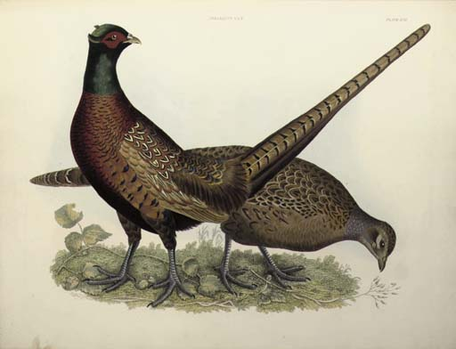 SELBY, Prideaux John (1788-1867). Plates to Selby's Illustrations of British Ornithology. London: Henry G. Bohn, 1841.