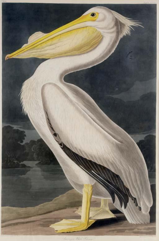 American White Pelican (Plate CCCXI) Pelecanus americanus