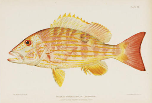 [Studies of fish of Puerto Rico in the Caribbean Islands]: Six Plates