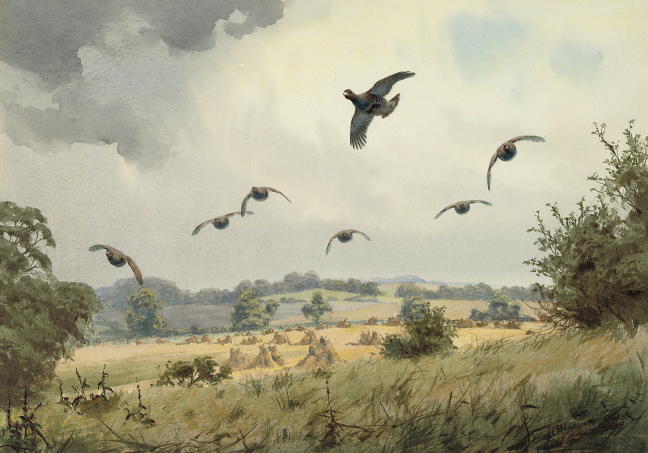 Partridge in flight over a harvest field