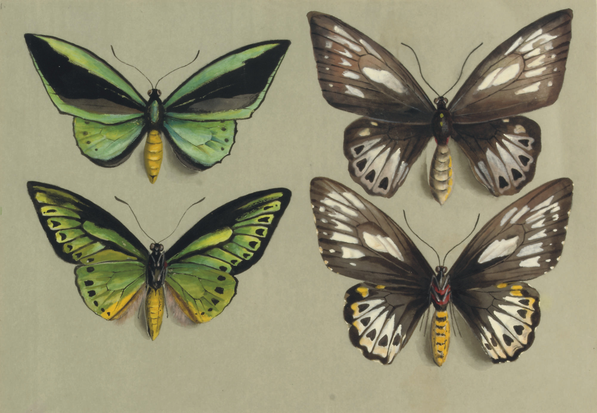 Four birdwing butterflies (family PAPILIONIDAE), in two columns, representing both sexes of the common birdwing (Troides (Ornithoptera) priamus)