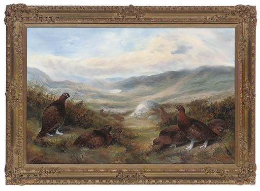Red grouse in an extensive landscape