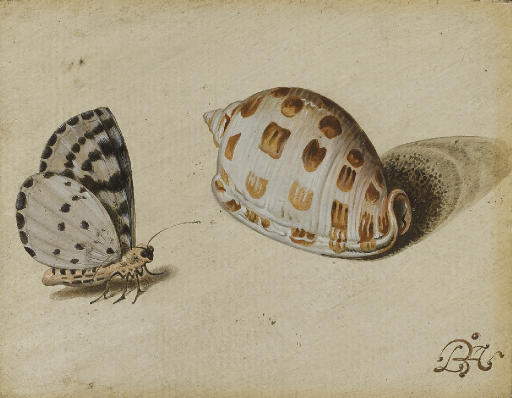 An Arrowhead Blue (Glaucopsyche piasus) butterfly and a Scotch Bonnet (Phalium granulatum) sea shell