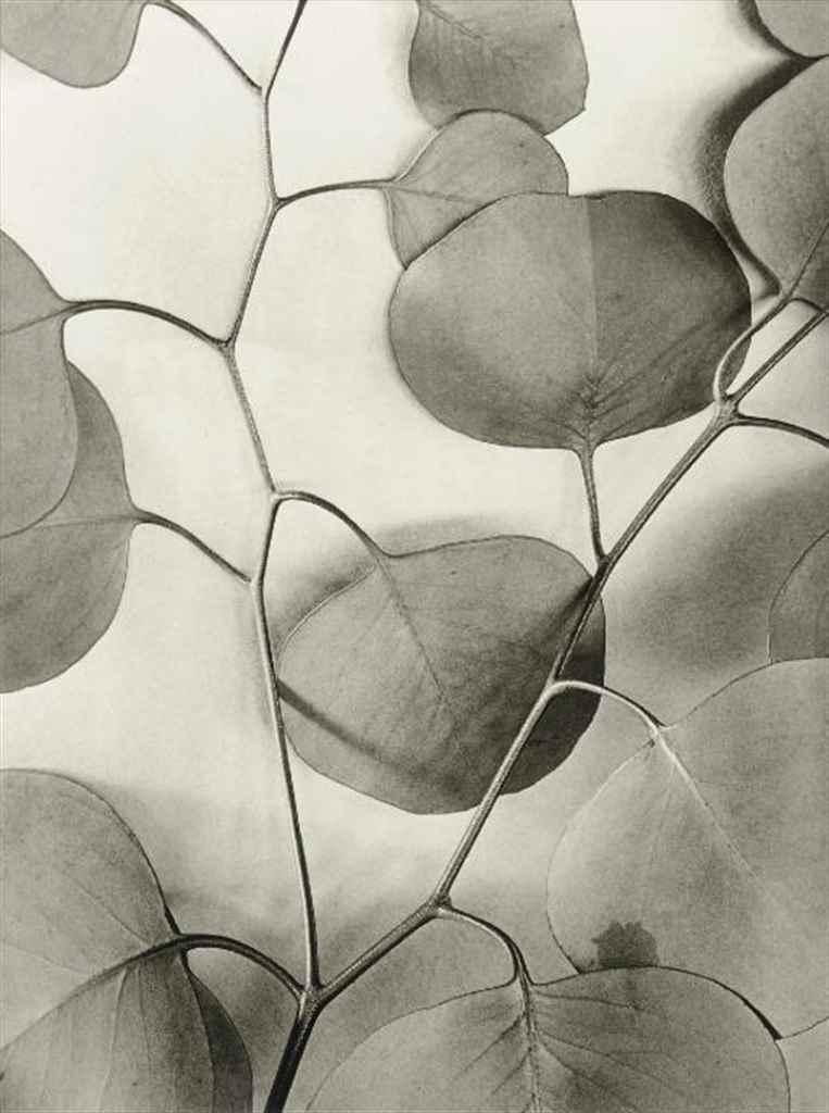 Eucalyptus Leaves, 1933