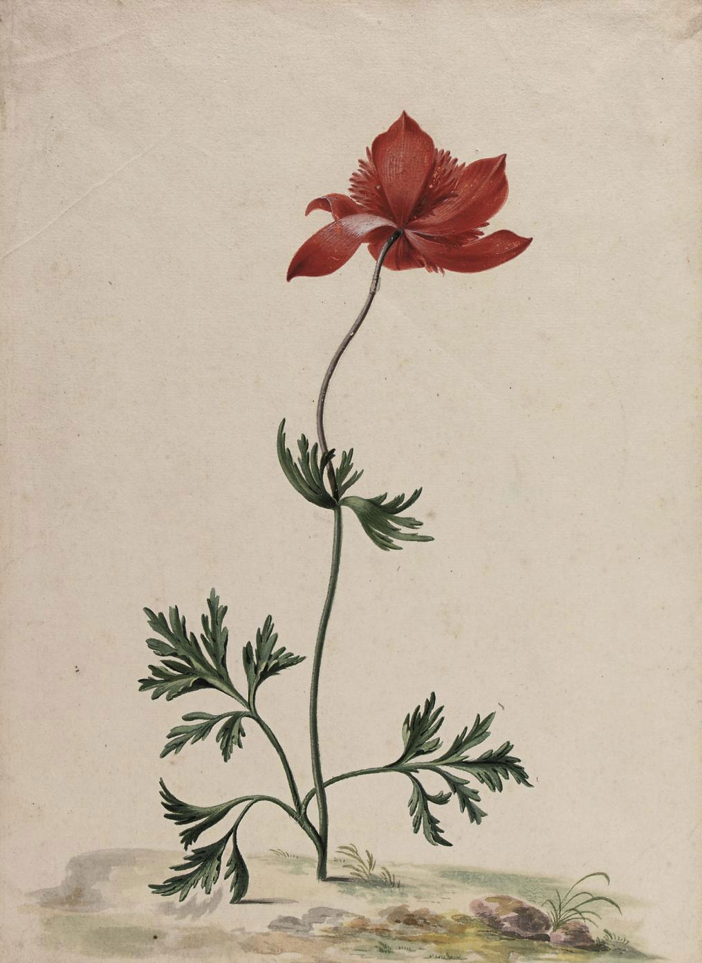 A Poppy anemone