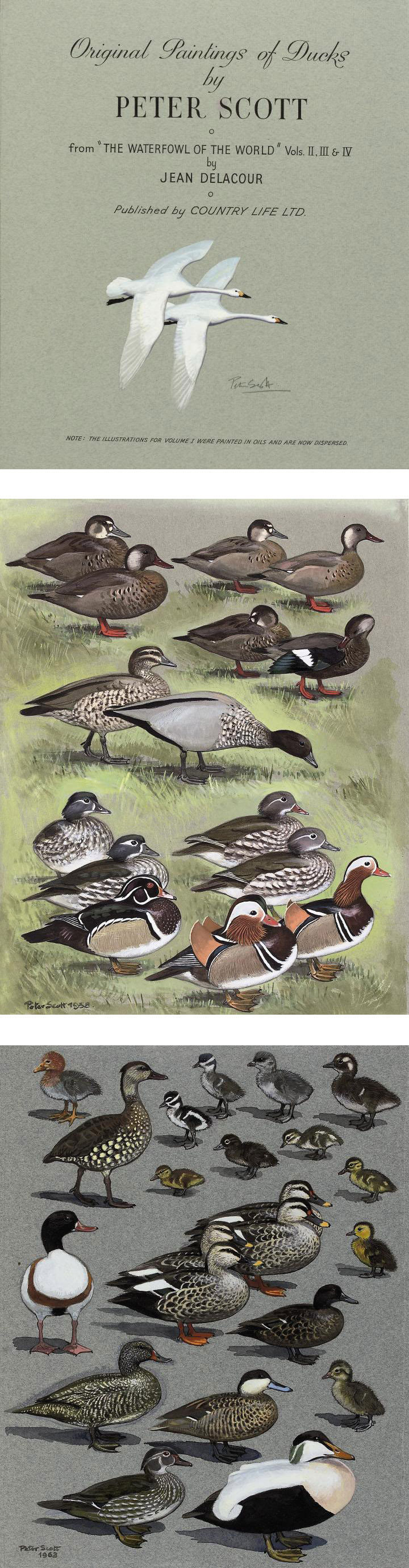 Two albums of twenty-four watercolours each depicting various species of wildfowl for 'Original Paintings of Ducks' by Jean Delacour