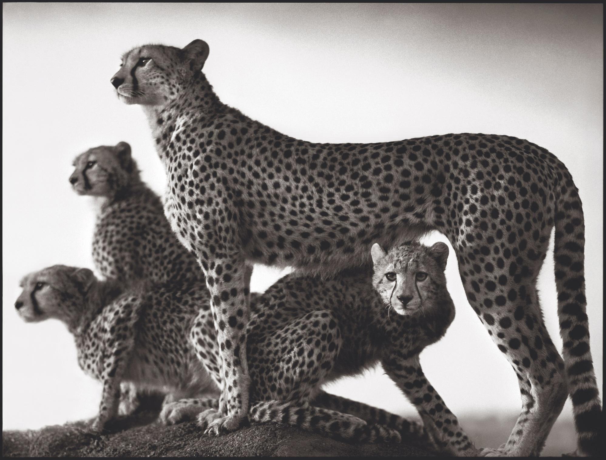 Cheetah and Cubs, Maasai Mara, 2003