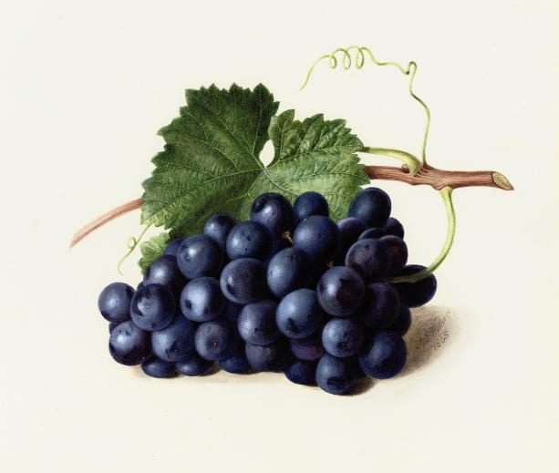Fruit of the vine (illustrated); and Gooseberries