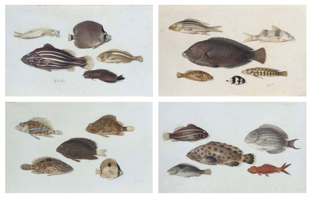 Four sheets of studies showing different species of tropical marine fish, including two species of blenny and a butterfly fish (no. 1); a grunt, a parrotfish and a banded butterfly fish (no. 2); a grouper, marbled grouper and butterfly fish (no. 3); and a parrotfish (no. 4)