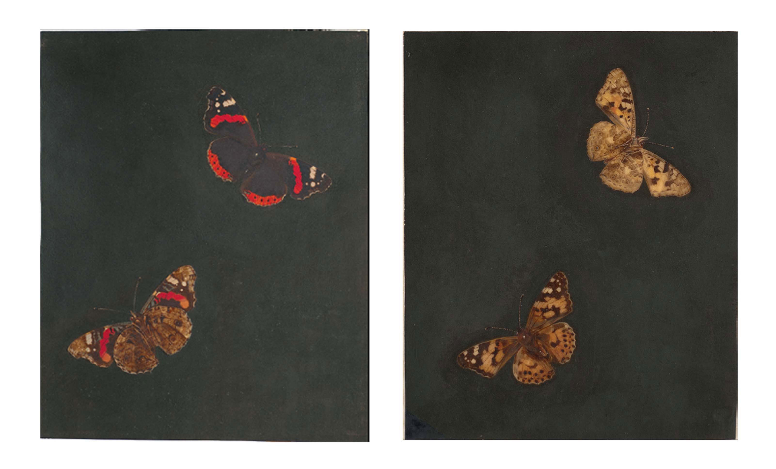 A Painted Lady butterfly seen from above and below; and A Red Admiral butterfly seen from above and below