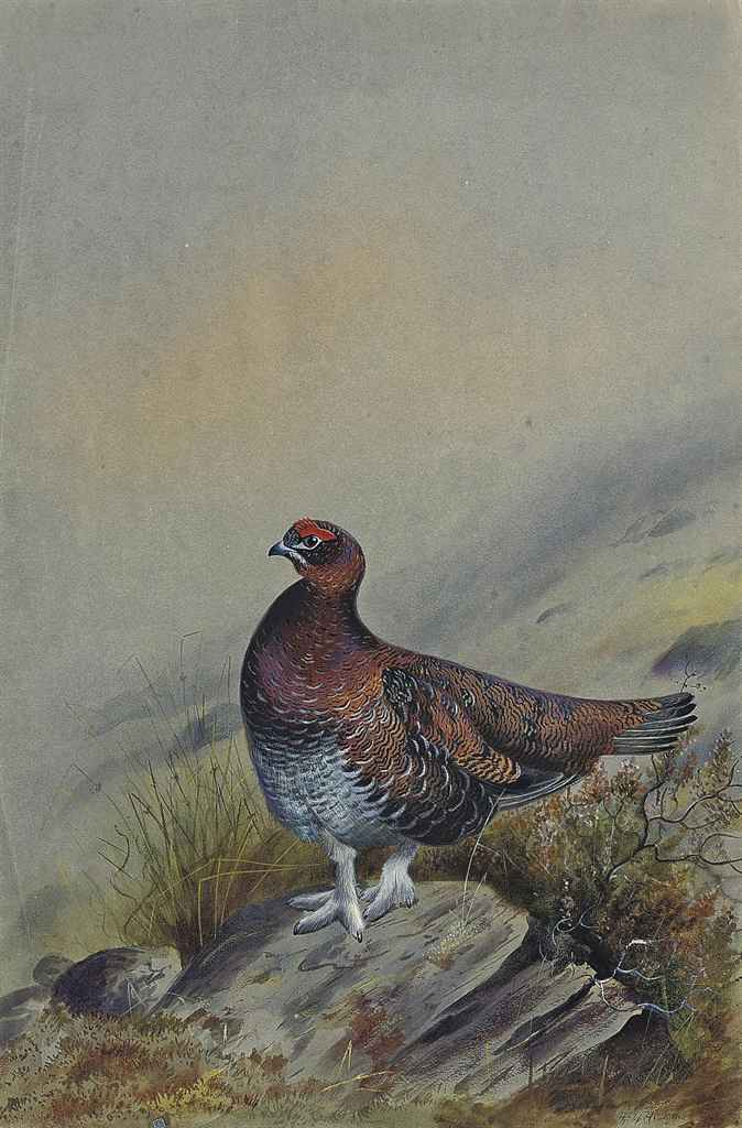 A red grouse on a rock (illustrated); Marsh harrier rising; and Looking skywards