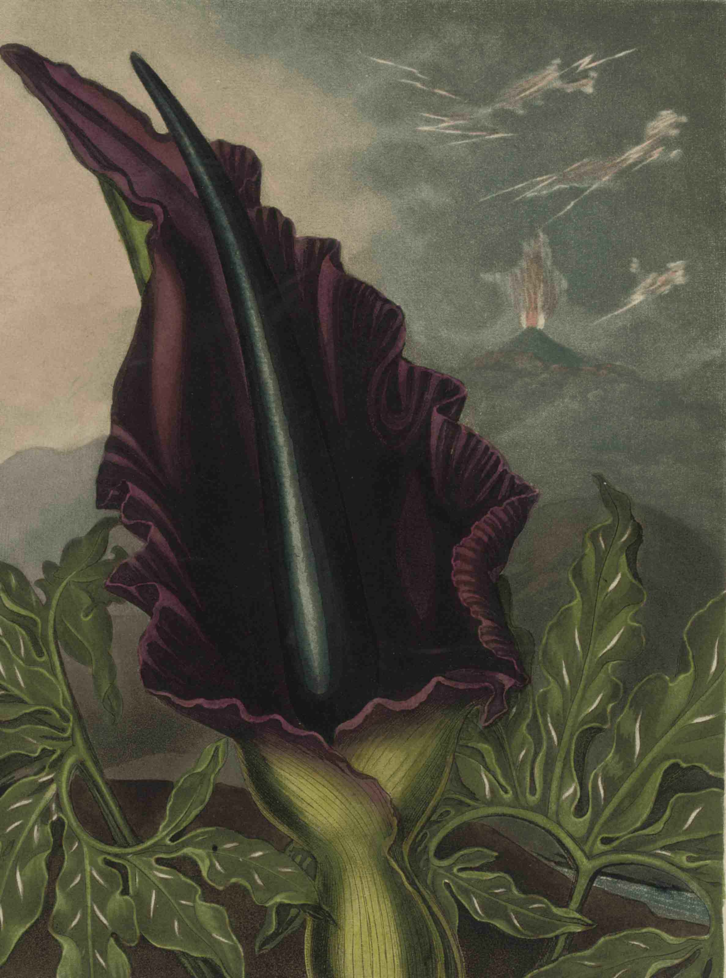 THORNTON, Robert John (1768-1837). Temple of Flora, or Garden of the Botanist poet, Painter and Philosopher. London: for the author 1812. 4° (377 x 305mm). Engraved title on 2 leaves, 29 coloured engraved botanical plates, finished by hand, including frontispiece, and 2 allegorical plates. (Occasional light browning, some waterstaining and soiling at start.) Contemporary red morocco gilt, marbled endpapers (rebacked, preserving most of old spine, edges restored, covers soiled and stained). Provenance: William Bennett (handwritten bookplate) -- Dulau and Co. (booksellers' label) -- Richard and Margot Walker (bookplate).