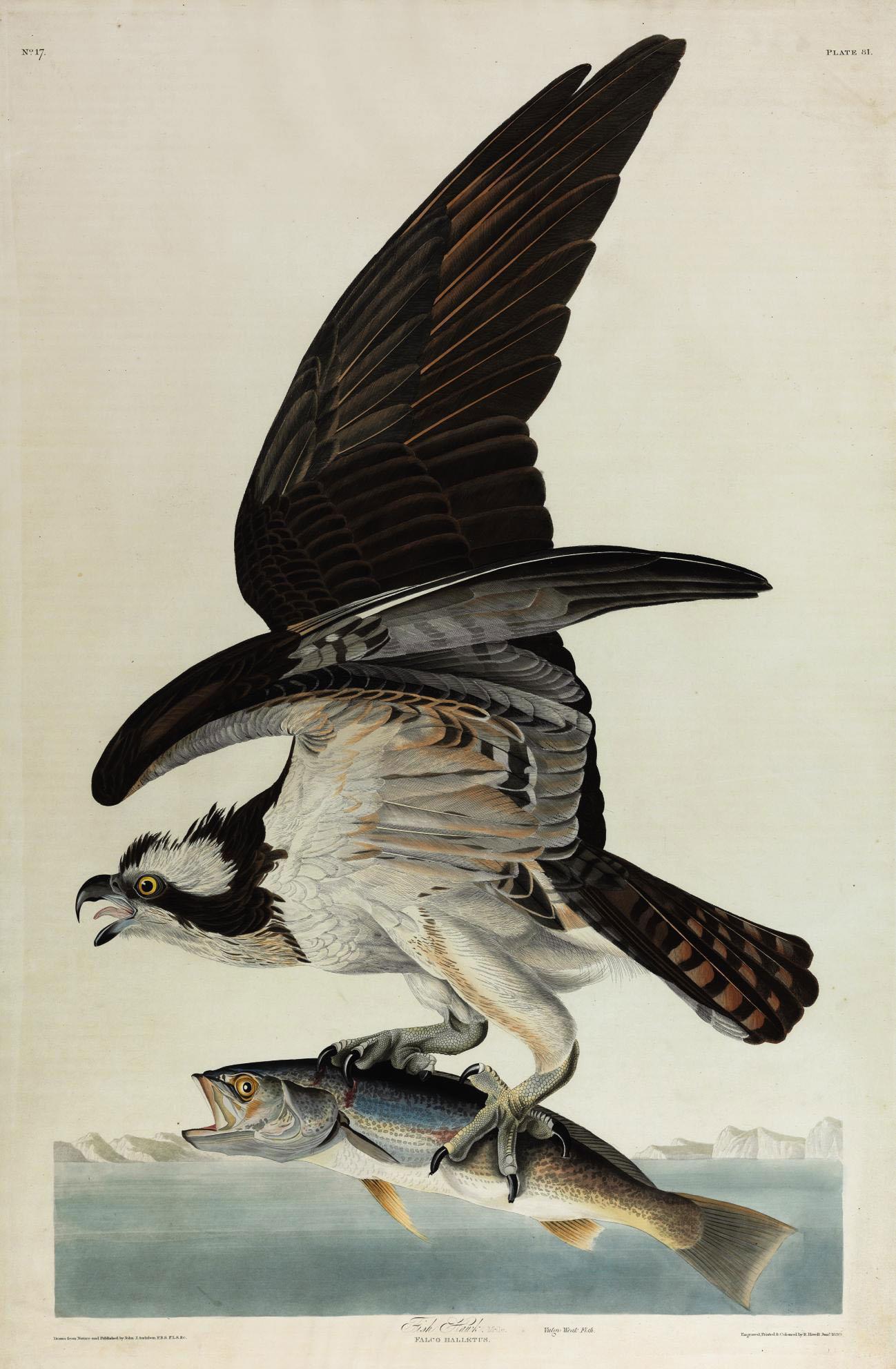 Fish Hawk (Plate 81) Falco haliaetus Variant 1