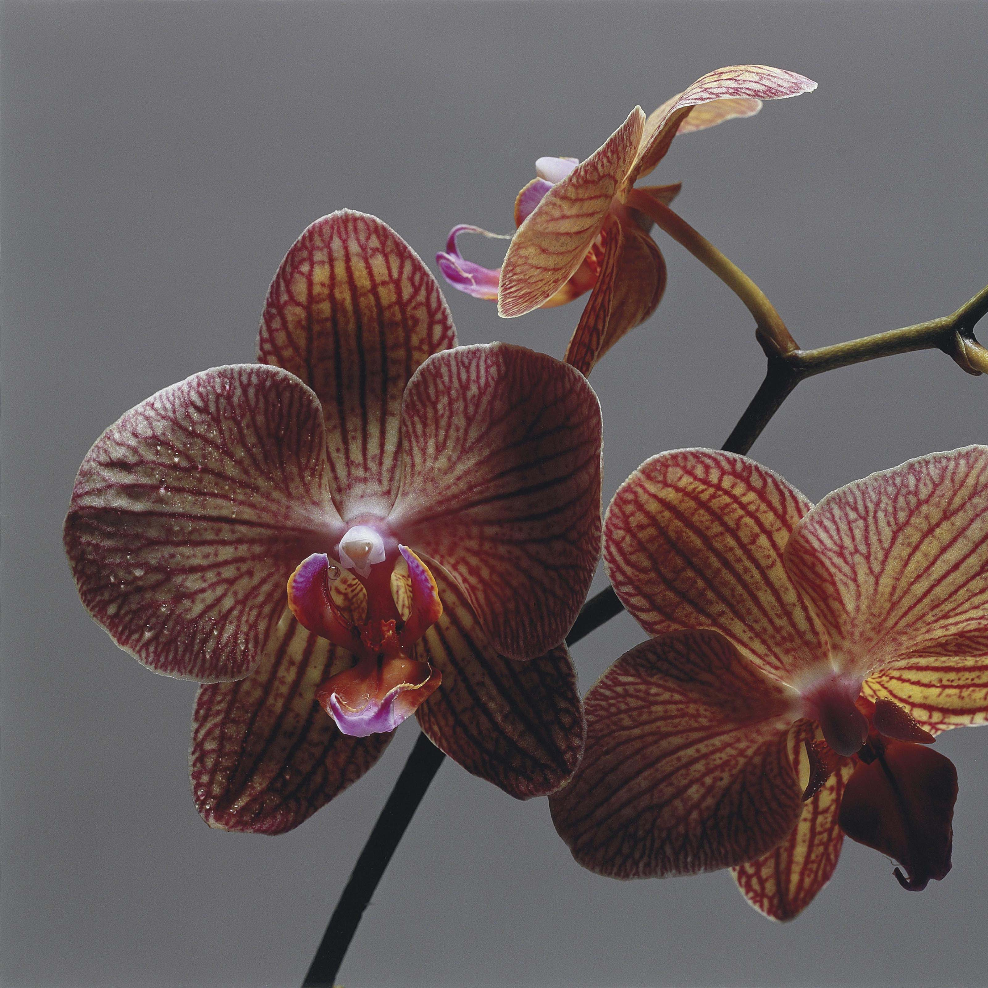 Orchid I, 2007