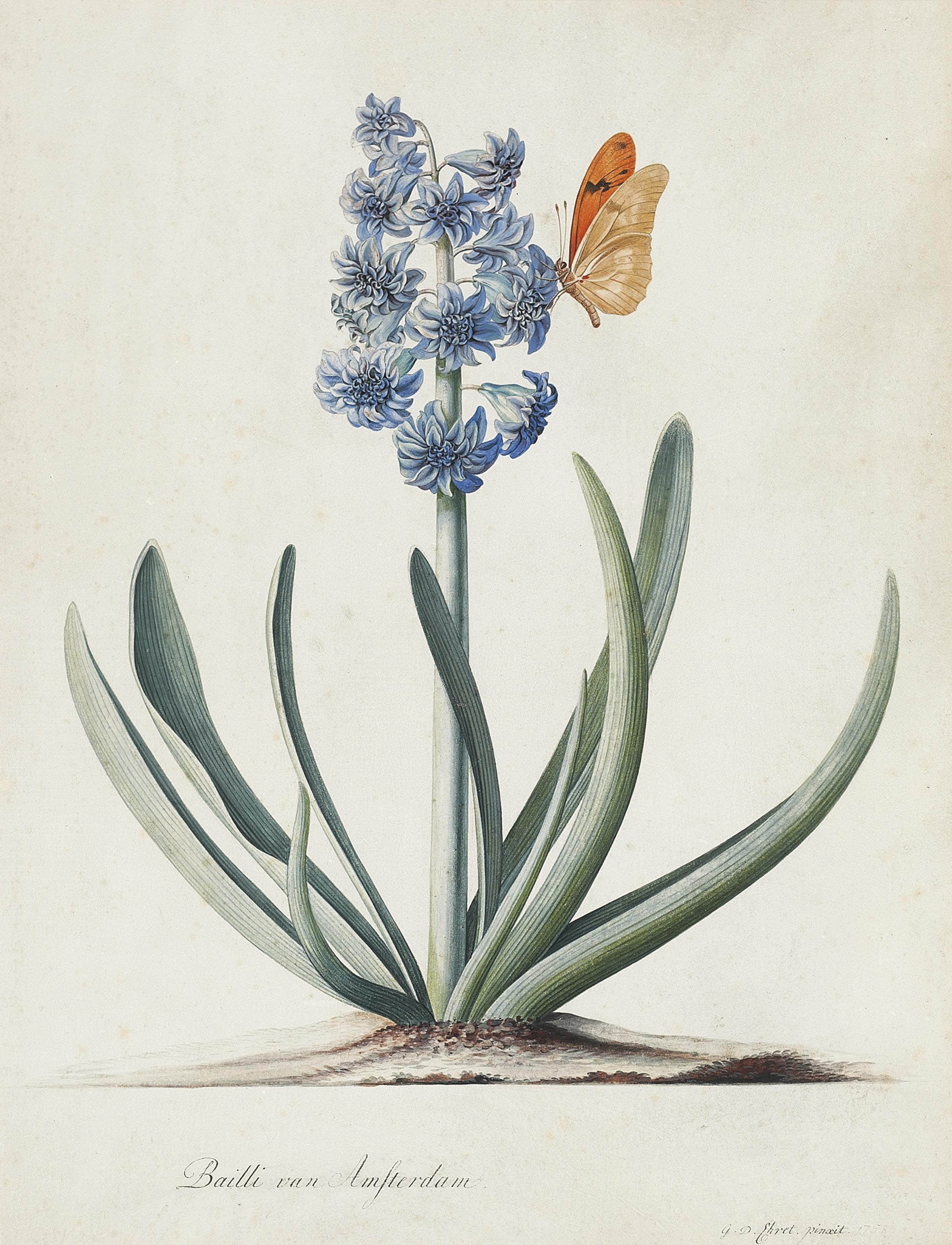 A double blue hyacinth (Hyacinthus orientalis) with a butterfly