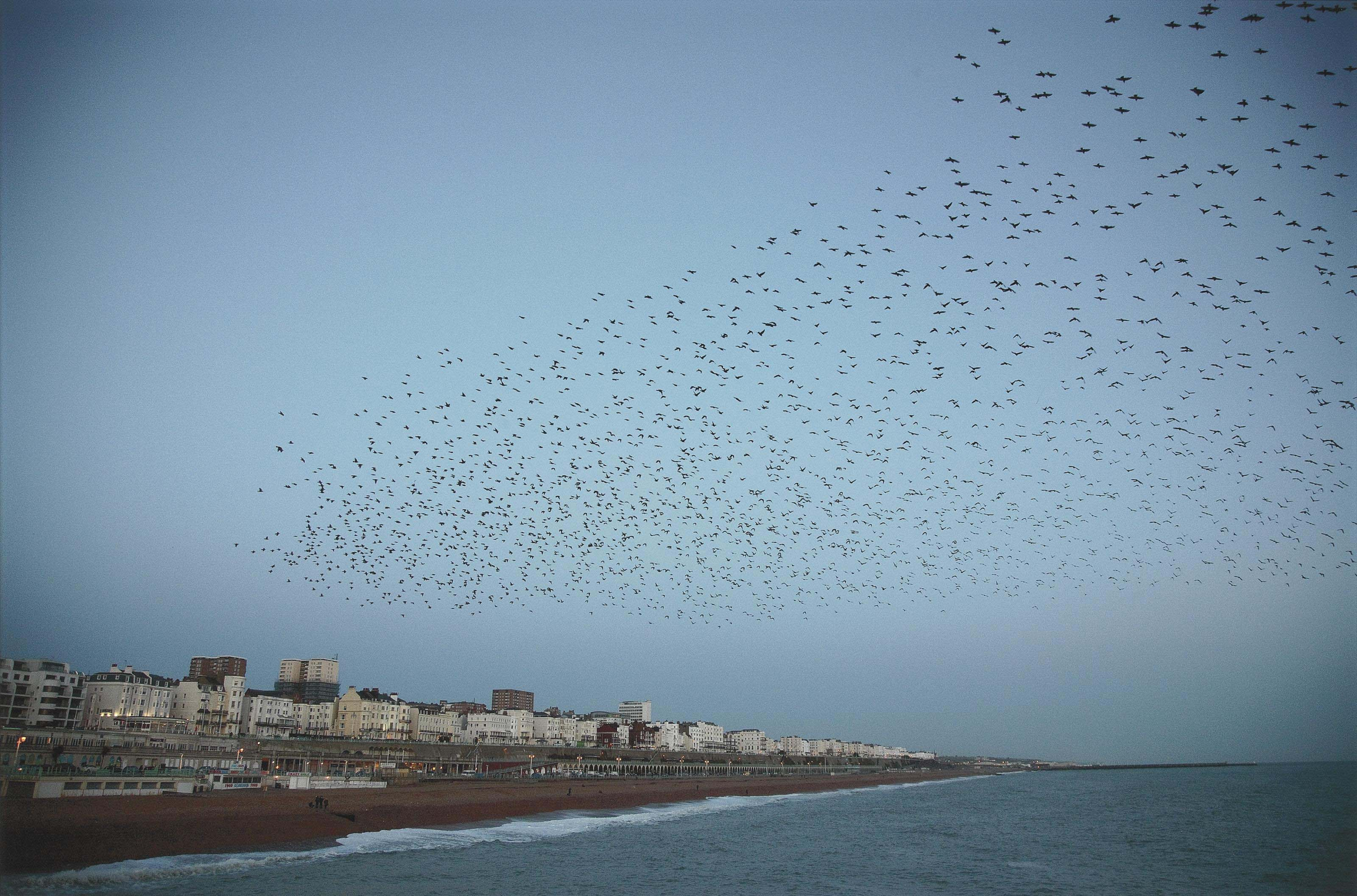 Untitled (Starlings over Brighton), from the series 'Murmuration', 2010