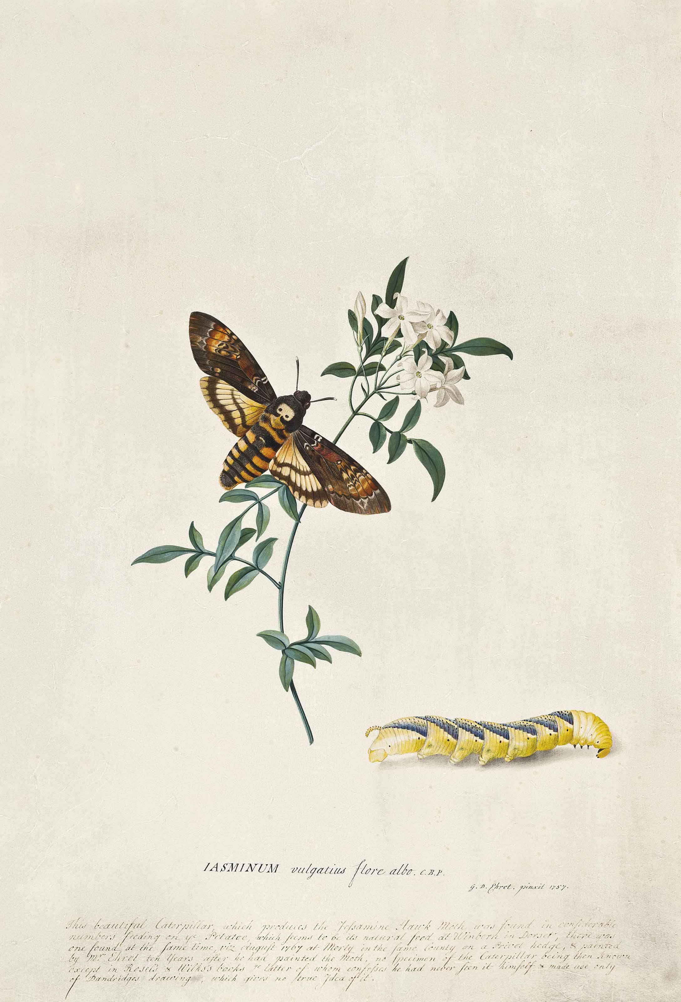 Jasminum vulgatius flore albo